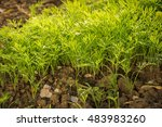 Small photo of Early light lush fresh diet raw dill (Anethum graveolens) shoots on bed on agro household plot on dacha kitchen kailyard on sunny springtime day. Close-up view with space for text on dirt black earth