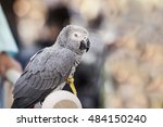 Small photo of African gray parrot, gray parrot or Congo African gray parrot (Psittacus erithacus), also named jaco (jaquot) against blurred street background. Selective focus