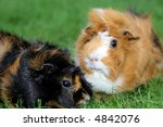 Two Guinea Pigs  Focus On First