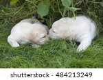 Stock photo young sweet labrador puppy playing outdoors 484213249