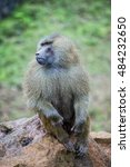 Small photo of Mandrill sitting on stone. Mandrillus sphinx is a species of primate catarrhine of the family Cercopithecidae. It is related to the baboons and more closely with the denim.