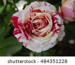 Stock photo the rose 484351228