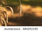 wheat after autumn harvest | Shutterstock . vector #484392190