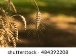 wheat after autumn harvest | Shutterstock . vector #484392208