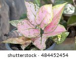 Small photo of group of pink color Aglaonema modestum under big tree