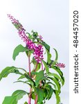 Small photo of American pokeweed with black berries in autumn, American Phytolacca on white background