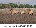 przewalski horses in chernobyl... | Shutterstock . vector #484494250
