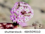 Small photo of Abronia umbellata, Pink sand verbena, Perennial of Western Coasts of North America with succulent leaves and pink to purple flowers in terminal globose heads