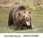 grizzly bear in water growling... | Shutterstock . vector #484514980