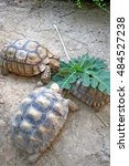 Small photo of African Spurred Tortoise in the garden, African spurred tortoise eating the vegetable