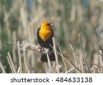 Small photo of Yellow-headed Blackbird (male)