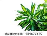 dracaena  isolated on white... | Shutterstock . vector #484671670