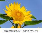 Blossoming Sunflower Closeup...