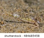 Small photo of Shortpouch Pygmy Pipehorse (Acentronura tentaculata)
