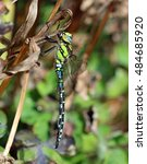 Small photo of Southern Hawker