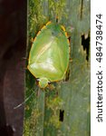 Small photo of Bugs are vibrant and diverse insects from wet tropical rain forests of Mexico. Phytophagous bug. Insecta, Hemiptera, Heteroptera