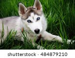 Stock photo  a dog husky walking in a park 484879210
