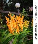 Small photo of Beautiful Yellow Vanda Orchids