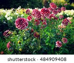 Dahlias With Red White...