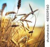 beautiful yellow wheat field in ...   Shutterstock . vector #485039560