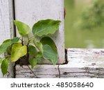 Bodhi Tree Growing On The Bridge