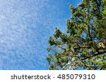 Small photo of pine tree with altocumulus or cirrocumulus type white clouds over blue, in the background, horizontal with copy space