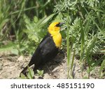 Small photo of Yellow-headed Blackbird (male)