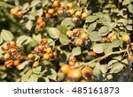 rosehips in nature | Shutterstock . vector #485161873