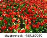 tulip is flower of fire.   Shutterstock . vector #485180050