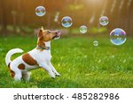 Stock photo puppy jack russell playing with soap bubbles in summer outdoor 485282986