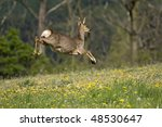 Jumping Roe Deer On A Meadow