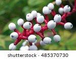 Small photo of White baneberry (Actaea Alba) also known as White Doll's Eyes.