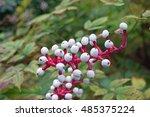 Small photo of White baneberry (Actaea Alba)