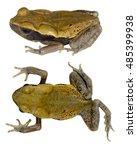 ecuadorian toad  rhaebo...   Shutterstock . vector #485399938