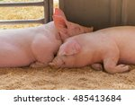Two Young Pig Together Lying O...