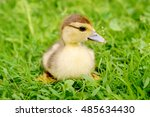 Fluffy Yellow Duckling Sitting...