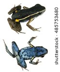 Small photo of Spotted-legged poison frog (Ameerega hahneli), dorsal and ventral view. From the Peruvian Amazon