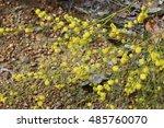 Bright Yellow Fluffy  Fragrant...