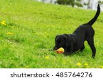 Stock photo playful black labrador puppy plays with ball in summer on the grass funny dog pet 485764276
