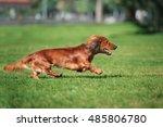 Dachshund Dog Running Outdoors