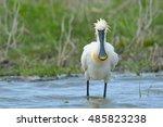 spoonbill in danube delta | Shutterstock . vector #485823238