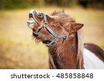 Funny Painted Shetland Pony