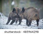 Two Big Wild Boar Males...