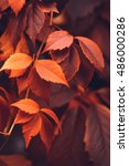 Small photo of Close up of Autumn Virginia Creeper leaves, Macro of Autumn Wild Grape leaves, Colorful Leaves Of Creeper Plant As Fall Season Halloween Background