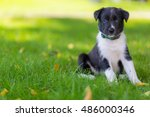 Stock photo border collies black puppy weeks old puppy outdoors on a sunny day a purebred border collie 486000346