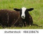balwen welsh mountain sheep a...