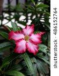 Small photo of Adenium obesum (Desert Rose) flower in garden