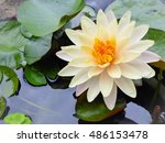 Fully Bloom White Water Lily...
