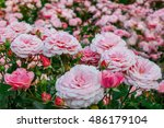 background of bouquet of pink... | Shutterstock . vector #486179104