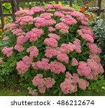 Pink Flowering Sedum Spectabil...